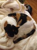 Calico cat with small cat in the foreground. Close up cat it sleeping on a white blanket and other cat is grey and white perched on her bed Stock Images
