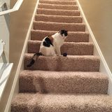 Calico cat on the stairs. Looking down exploring what is going on stock image