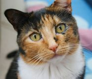 CALICO CAT WITH TORTOISE SHELL COAT Stock Photos