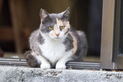 Calico cat Stock Image