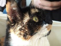 Calico cat. Tricolor stock images