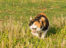 Calico cat vomiting after eating grass Royalty Free Stock Photography