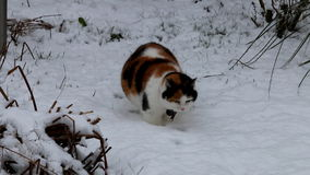 Calico cat walking in white snow in dutch garden stock video