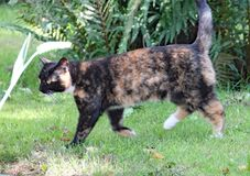 A calico cat walks on the grass on a hot summers day stock images