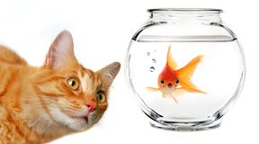 Calico Cat Watching a Gold Fish. In a Fishbowl royalty free stock photo