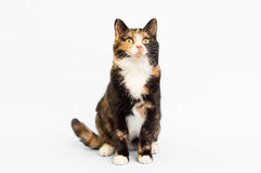 Calico Cat White Backdrop. A Calico cat sitting on a white backdrop Stock Images