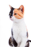 Calico Cat Royalty Free Stock Photography