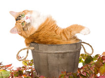 Calico cat in wooden barrel leaning back Stock Image