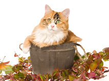 Calico cat in wooden barrel on white bg Royalty Free Stock Image