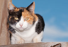 Calico cat on wooden porch. Looking intently at the viewer stock photography