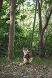 Calico cat in the woods. Staring back while sitting stock photos