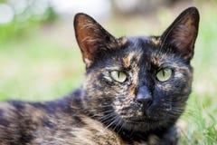 Calico cat Royalty Free Stock Photos