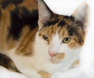 Calico. Close up of a calico kitten on white royalty free stock images