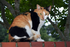 Calico Feral Cat on a Brick Wall. This is a photo of an orange, black, and white feral cat with a clipped ear staring at you while he sits on a red brick wall Royalty Free Stock Photos