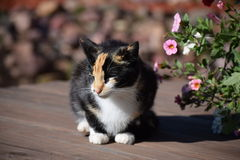 Calico and Flowers Royalty Free Stock Image