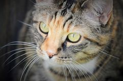 Calico with green eyes Royalty Free Stock Image