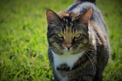 Calico with green eyes outdoors Stock Photo