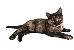 Calico Kitten. A calico kitten laying down on white Royalty Free Stock Images