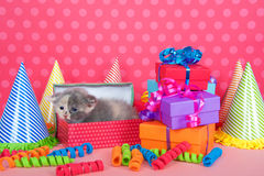 Calico kitten in birthday box with presents and party hats Royalty Free Stock Images