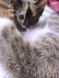 Calico Kitten Royalty Free Stock Photography