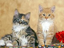 Two fluffy Kitten  tortoiseshell and ginger tabby watching Stock Photos