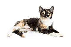 Calico Kitten Lying Over White Stock Fotografie