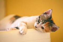 Calico Kitten Lying on the White Wooden Surface Stock Photo