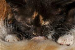 Free Calico Kitten Nursing Stock Image - 40525181