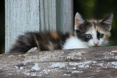 Calico kitten outside beautiful royalty free stock photo