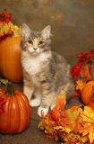 Calico Kitten and Pumpkins Stock Image