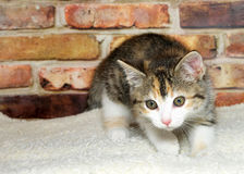 Calico kitten ready to pounce. One calico kitten crouched down on sheepskin ready to pounce, brick wall background Royalty Free Stock Photography