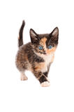 Calico Kitten Standing Royalty Free Stock Photography