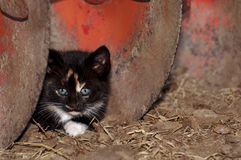 Calico kitten by tractor disc Royalty Free Stock Photo