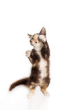 Calico kitten on White Stock Photography
