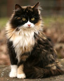Calico Kitty. Young long haired calico cat Stock Images