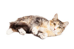 Calico Kitty Laying Over White Royalty Free Stock Photography