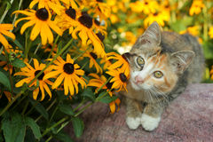 Calico kitty and Rudbeckia. Calico kittn on rock enjoying Black-Eyed Susans (Rudbeckia Royalty Free Stock Photo