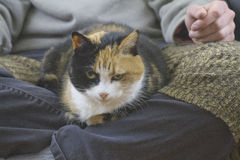 Calico Lap Cat Stock Images