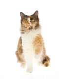 Calico Laperm on white background Stock Photo