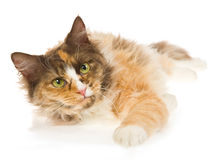Calico Laperm on white background Royalty Free Stock Photography