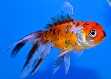 Calico Oranda Goldfish. Small Fancy goldfish on a blue background. In aquarium side view Royalty Free Stock Images