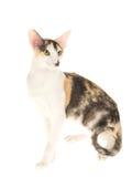 Calico Oriental Siamese on white background Royalty Free Stock Photo