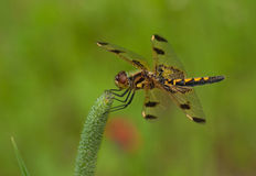 Calico Pennant Royalty Free Stock Photography