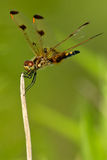 Calico Pennant Dragonfly Stock Photos