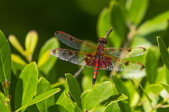 Calico Pennant Dragonfly Wings Spread , Closeup Stock Image