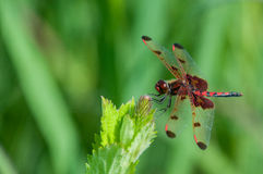 Calico Pennant. Perched on a plant stock photos