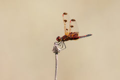Calico Pennant. Perched on a plant stock image