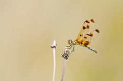 Calico Pennant. Perched on a wildflower stock photography