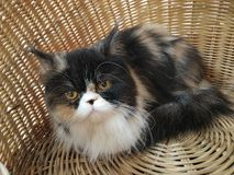 Calico Persian cat in basket. Calico Persian cat in the basket  looking at camera Royalty Free Stock Photos
