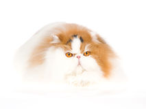 Calico Persian cat in fur bed Stock Photos
